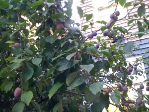 Plums on Bauer Street